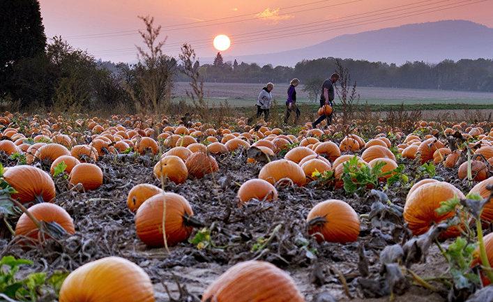 Местные жители собирают урожай тыквы недалеко от Франкфурта, Германия