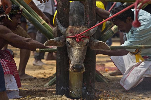 Буйвол, подготовленный к жертвоприношению в храме индуистской богини Дурги в деревне Рани