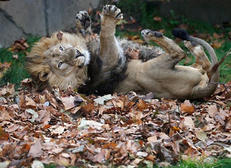 Лев Бхану отдыхает в своем вольере в лондонском зоопарке