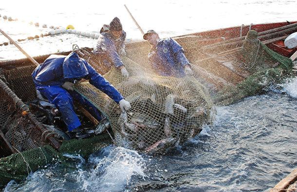 Добыча кеты у острова Кунашир Сахалинской области