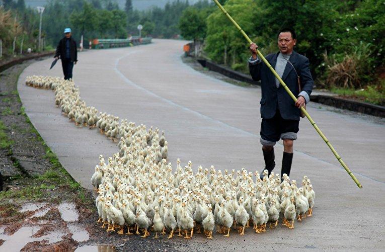 Заводчик выгуливает утят в провинции Шаньдун, Китай