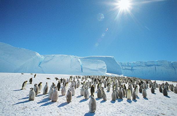 Колония императорских пингвинов в Антарктиде