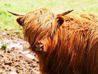 Высокогорная корова