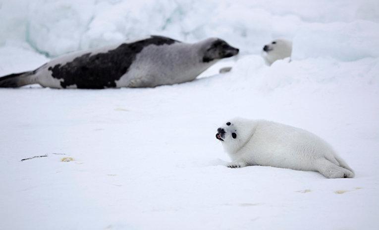 Тюлени на льду в Белом море, Архангельская область, Россия