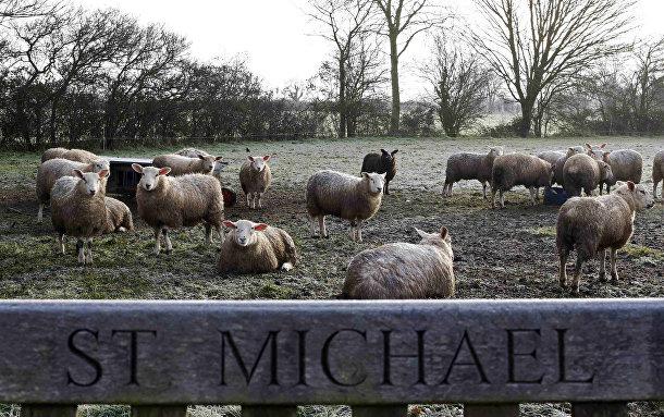 Овцы на пастбище в дважды благословенной деревне Сент-Майкл-Саус-Элмхам