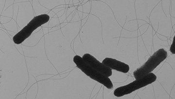 Бактерия сальмонелла