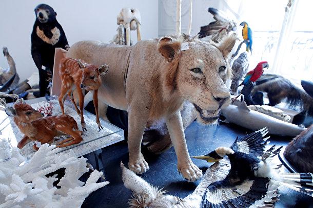 Чучела льва и других животных в аукционном доме в Париже