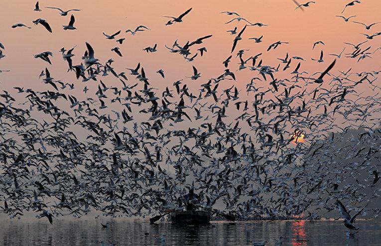 Чайки над рекой Ямуна в Нью-Дели, Индия