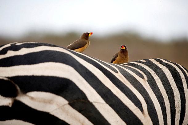 Птицы на спине зебры в национальном парке Найроби