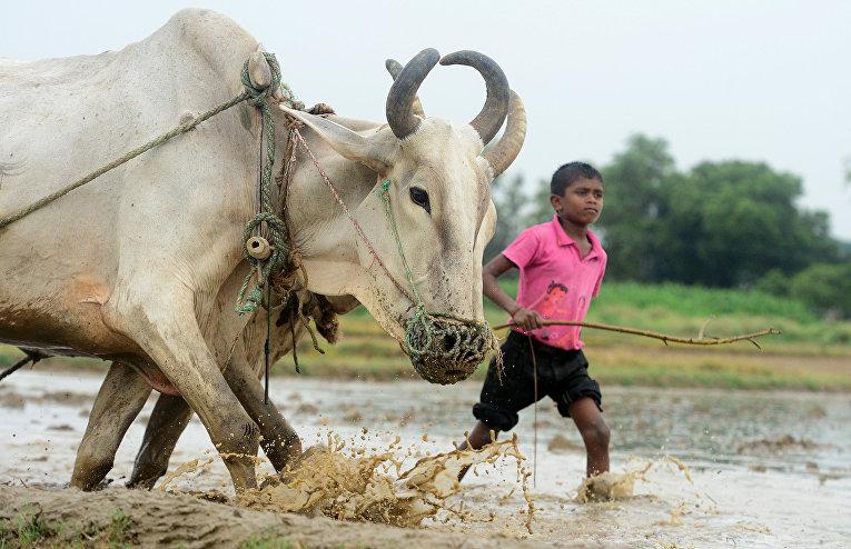 Индийский мальчик с коровой