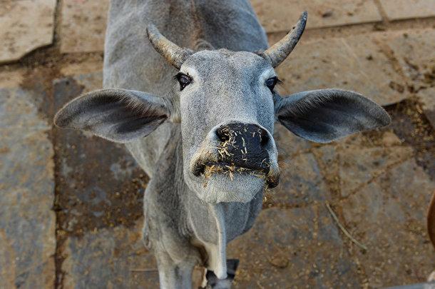 Корова в индийском городе Таранагар