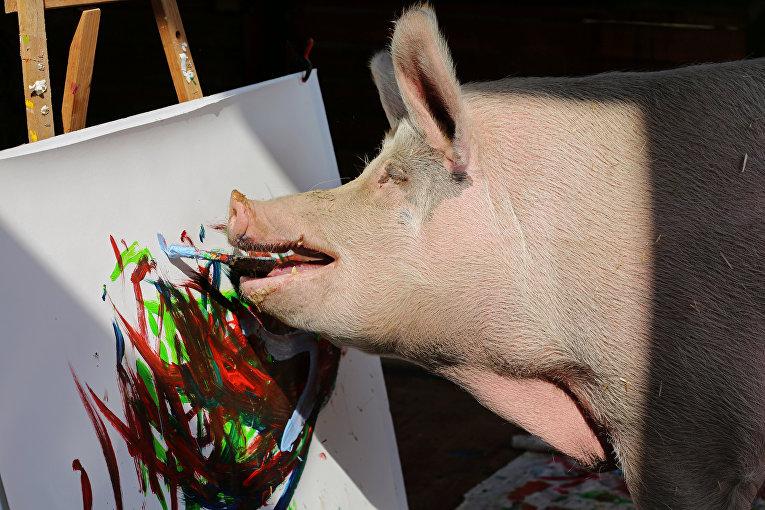 Свинья по кличке Пигкассо рисует картины во Франсхуке