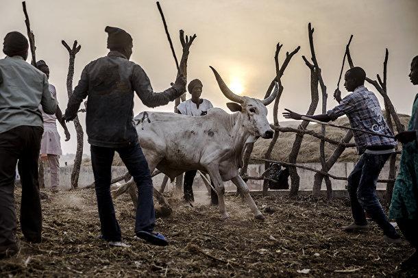 Скотоводы на животноводческом рынке в Нгуроре
