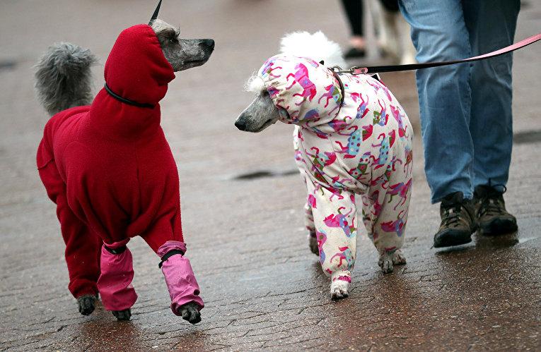 Пуделей ведут на выставку собак в Бирмингеме