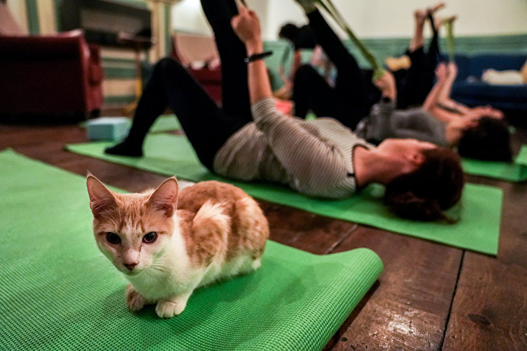 Кошка на занятиях кошачей йогой в кафе в Бруклине