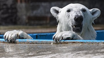 Белый медведь в центре воспроизводства редких видов животных Московского зоопарка
