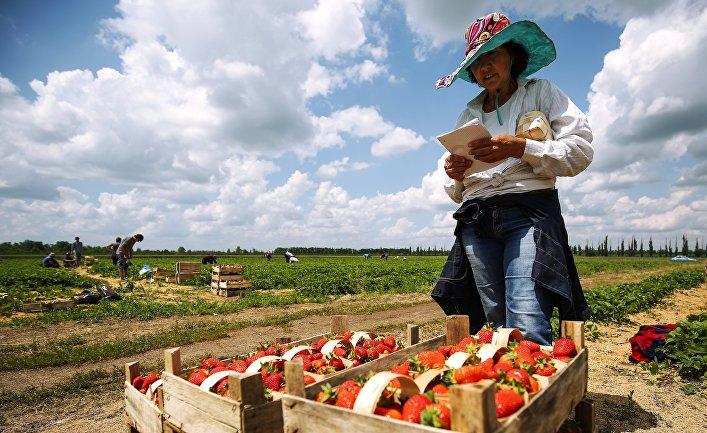 Сбор урожая клубники