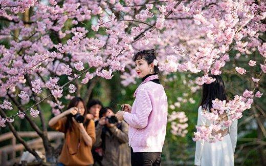 Посетители позируют под цветущей сакурой в Ботаническом саду в Нанкине