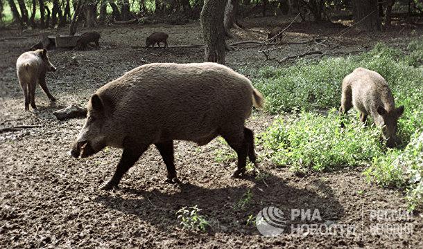 Дикие кабаны в Цуманском охотничьем хозяйстве