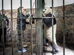 Работница копенгагенского зоопарка Пернилле Гёруп Андерсен общается с пандой Синь Эр перед долгим путешествием из  заповедника больших панд в китайском Чэнду в Данию