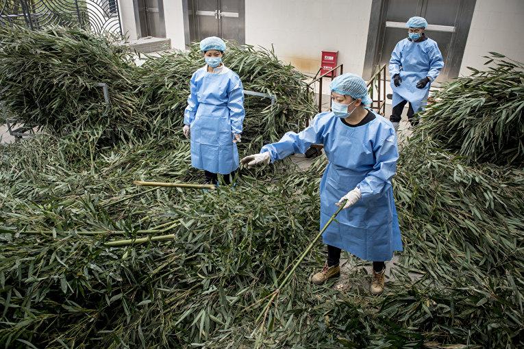 Сотрудники заповедника больших панд в китайском Чэнду готовят запас бамбука в дорогу двум пандам Сунь Эр и Мао Сун, которые отправляются в зоопарк Копенгагена, Дания