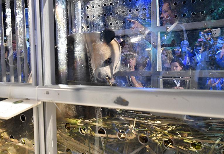 Одна из двух больших панд из Китая в аэропорту Схипхол. Китай предоставил Нидерландам панд в рамках 15-летнего сотрудничества и при условии строительства специального вольера в зоопарке