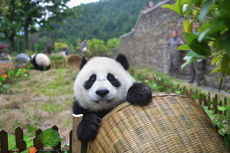 Панда в научно-исследовательском центре по сохранению гигантской панды в Вэньчуане