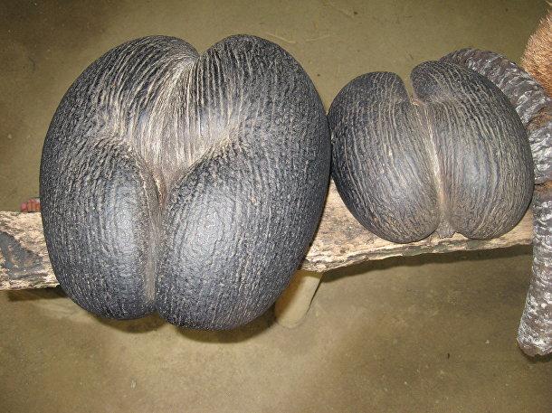 Lodoicea maldivica, Сейшельская пальма