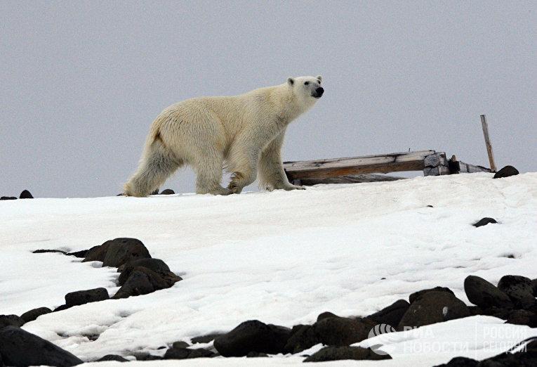 Белый медведь на одном из островов архипелага Земля Франца-Иосифа.