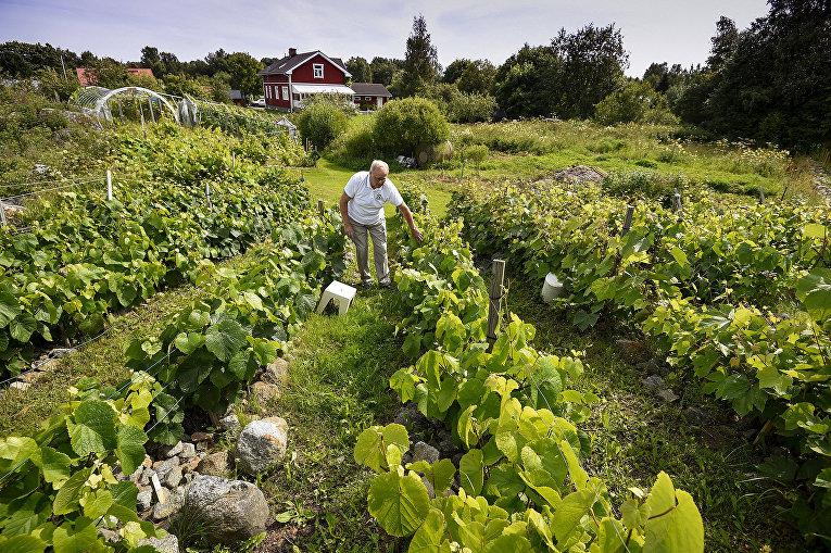 Виноградники недалеко от Вааса, Финляндия
