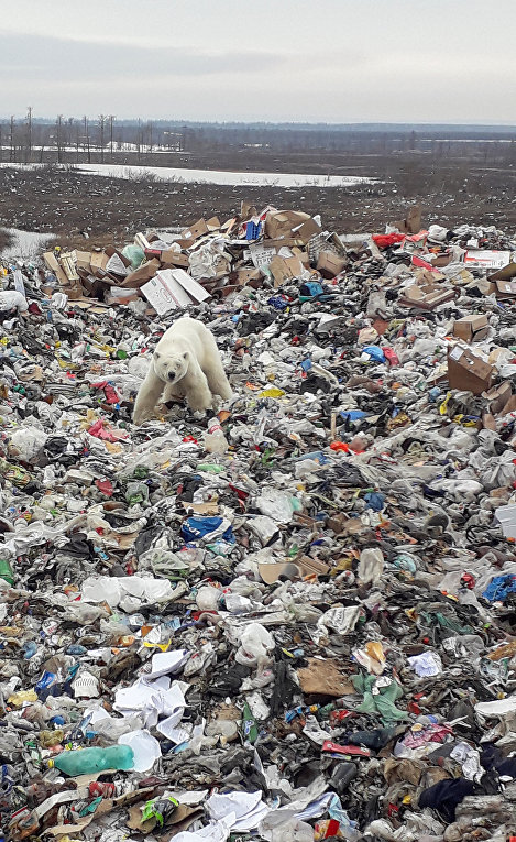 Белый медведь на мусорной свалке в Норильске