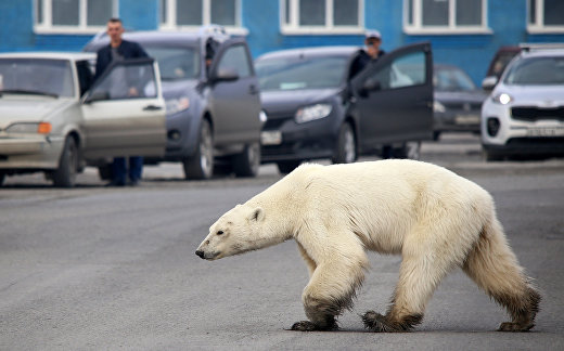 Белый медведь в Норильске