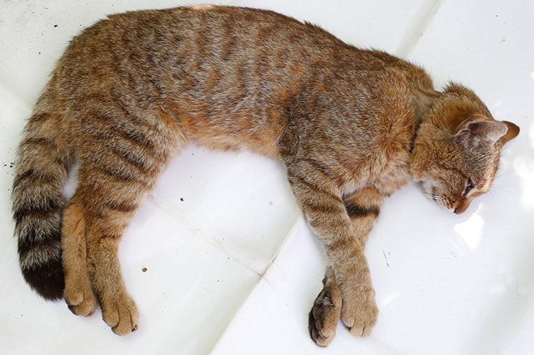 Лиса-кошка, найденная на французском острове Корсика