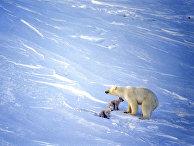 """Белые медведи - обитатели заповедника """"Остров Врангеля"""""""