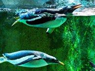 Пингвины в зоопарке