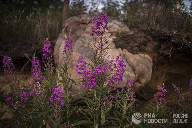 Цветение Иван-чая в Безымянной бухте озера Байкал.