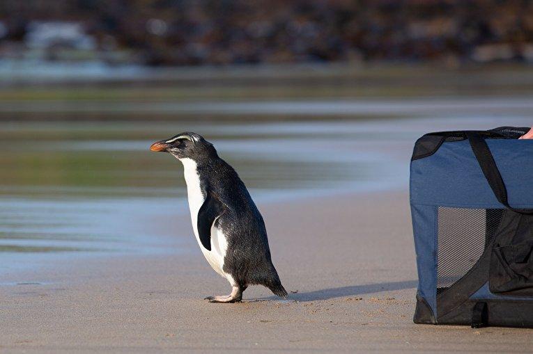 Фьордлендский пингвин на острове Филлип