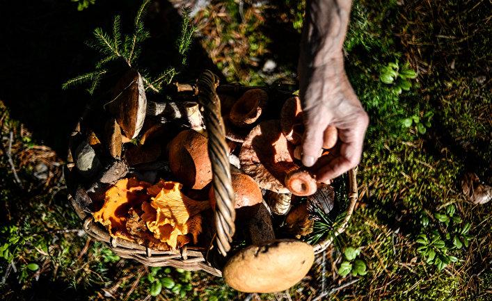 Грибы, собранные жителями Новгородской области в лесу.