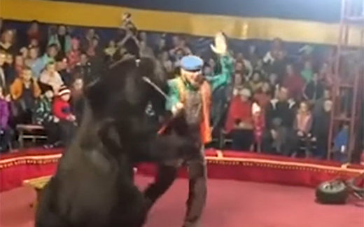 Un oso ataca a su domador en plena función en un circo de Rusia