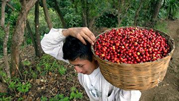 Сбор урожая кофе в Сан-Лукас-Толиман, Гватемала