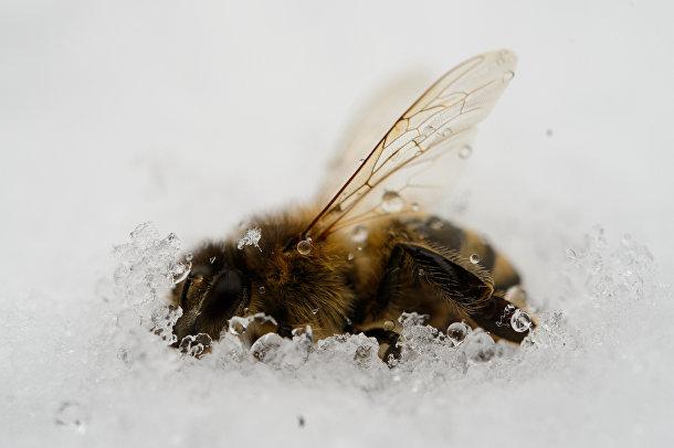 Пчела, умершая в снегу