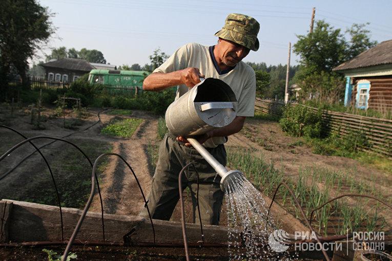 Мужчина поливает грядку у себя в огороде в деревне Окунево