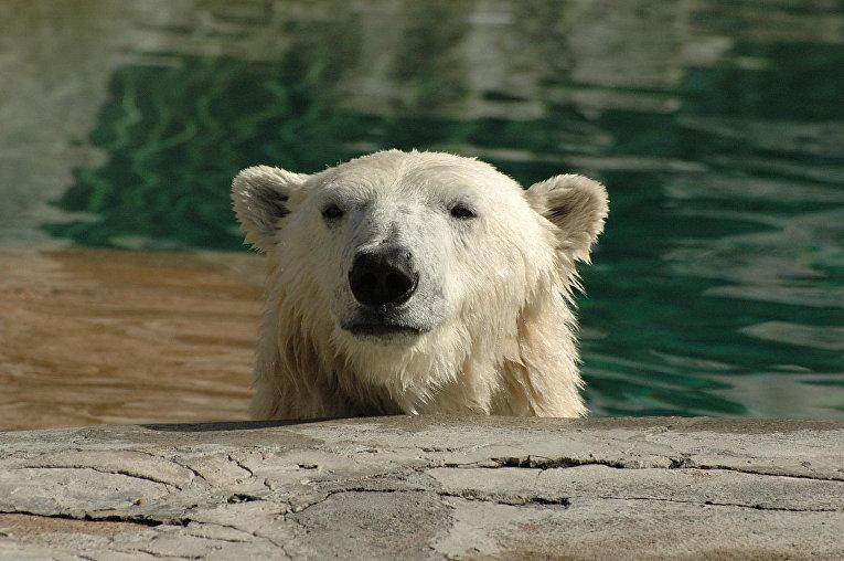 Белый медведь в зоопарке Буффало
