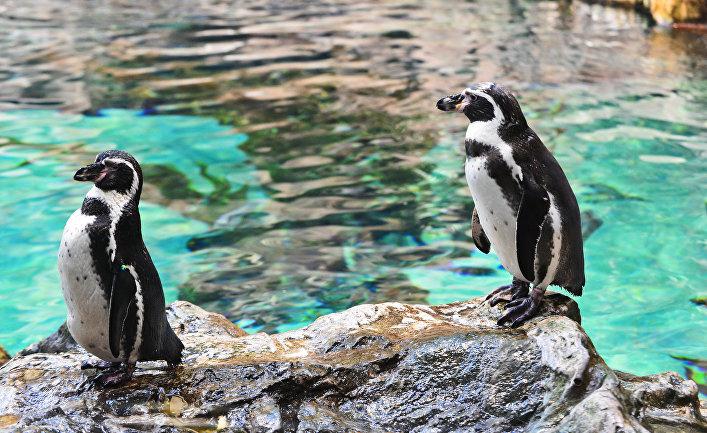 Science (США): почему без следа исчез почти миллион королевских пингвинов?