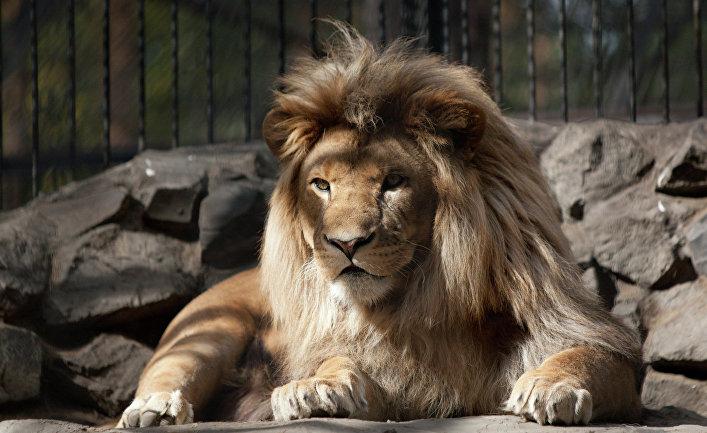 В Новосибирском зоопарке родился гибрид лигрицы и льва