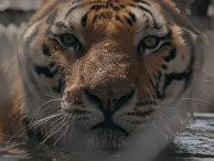 Документальный сериал «Король тигров»