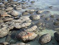 Строматолиты в заливе Шарк, Австралия