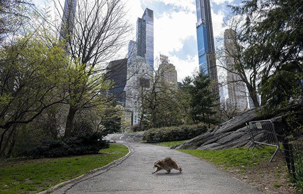 Енот гуляет по пустым дорожкам Центрального парка в Нью-Йорке