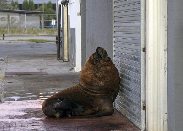 Морской лев у гавани Мар-дель-Плата, недалеко от Буэнос-Айреса, Аргентина
