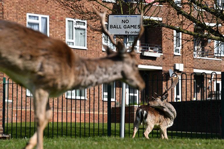 Олени пасутся на лужайке жилого комплекса на востоке Лондона